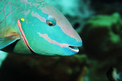 Stoplight Parrotfish. A Stop light Parrotfish in the Caribbean Sea royalty free stock images