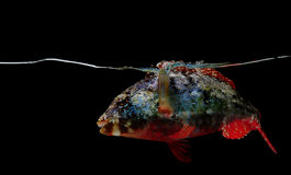 Stoplight parrotfish on black background Stock Image