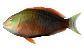 Stoplight Parrotfish. Fish illustration on white background Royalty Free Stock Photos