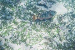 Stoplight parrotfish inicjał Obraz Royalty Free