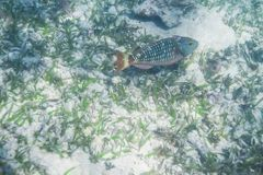 Stoplight parrotfish initial Royalty Free Stock Image