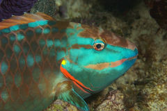 Stoplight Parrotfish at Night. Closeup of Stoplight Parrotfish (Sparisoma viride) at Night stock photo