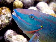 Stoplight Parrotfish 02. Side-on head shot of a Stoplight Parrotfish royalty free stock photo