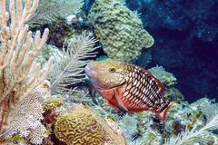 Stoplight parrotfish (Sparisoma viride). Is a species of parrotfish inhabiting coral reefs in Florida, Caribbean Sea royalty free stock photos