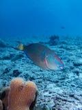 Stoplight Parrotfish Stock Photo