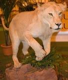 stoppad lion Arkivbild