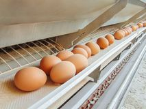 Stopped conveyor production line of chicken eggs of a poultry farm. Limited depth of field Stock Photos