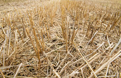 Stoppel des Weizens Stockfotografie