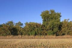 Stoppel- und Ebereschenbäume Stockbilder
