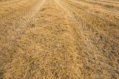 Stoppelfeld nach dem erntenden Dreschen des Weizens Lizenzfreie Stockbilder