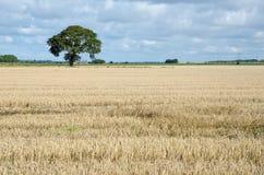 Stoppelveld met een eenzame boom Royalty-vrije Stock Afbeeldingen