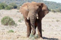 Stoppen Sie mich, den ich der afrikanische Bush-Elefant ENORM bin Lizenzfreie Stockfotografie