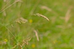 Stoppia di fioritura dell'erba che appende giù la prateria del primo piano, poaceae Immagine Stock