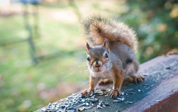 Red squirrel comes to stop by for breakfast of seeds. Royalty Free Stock Image