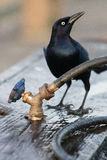 Stopping by for a Drink. A Common Grackle takes a drink from the faucet on a fish cleaning station at the Kure Beach Fishing Pier Royalty Free Stock Image