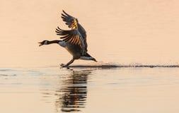 Stoppppp - гусыня Канады (canadensis чёрной казарки) останавливая на воде Стоковое Изображение