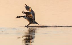 Stoppppp - Canada Goose (Branta canadensis) stopping on water Stock Image