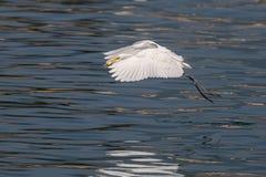 Stor ägretthäger fångad fisk Fotografering för Bildbyråer