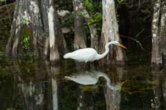 Stor ägretthäger i det löst i evergladesna Florida Arkivfoton