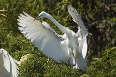 Stor ägretthäger som packas in av vingar som landar på en råkkoloni, Florida Royaltyfri Bild