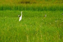 Stor ägretthägerCiconiiformes för vit fågel i fält Arkivfoto