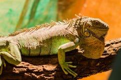 Stor ödla - grönt sitta för leguan som är orörligt i en bur i ett husdjur royaltyfri bild