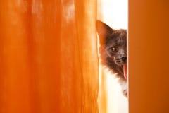 Stor-öron katt med hans tunga ut Royaltyfria Bilder