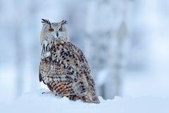 Stor östlig Siberian Eagle Owl, Bubobubosibiricus som sitter på hög med insnöat skogbjörkträdet med det härliga djuret royaltyfria bilder