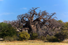 Stor afrikansk baobab Arkivbild