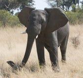 stor afrikansk elefant Royaltyfri Fotografi