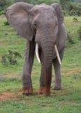 Stor afrikansk elefant med Dusty Feet Royaltyfri Bild