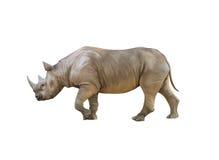 Stor afrikansk noshörning, noshörning Arkivfoto