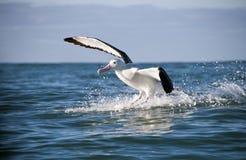 stor albatross Royaltyfri Fotografi