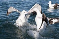 stor albatross Royaltyfri Foto