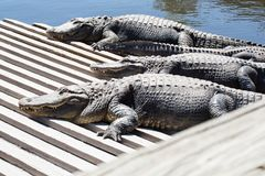 Stor alligator tre Royaltyfri Fotografi