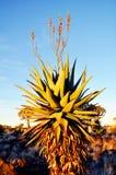 Stor aloeFerox växt med röda blommor, Keetmanshoop, Namibia royaltyfri foto