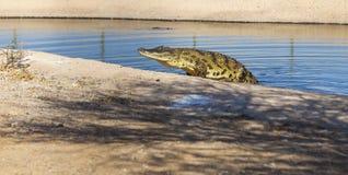 Stor amerikansk alligator Arkivfoto