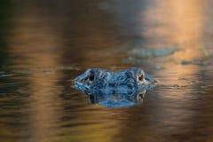 Stor amerikansk alligator i vattnet Arkivfoton