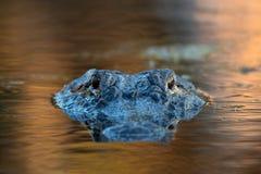 Stor amerikansk alligator i vattnet Royaltyfri Fotografi