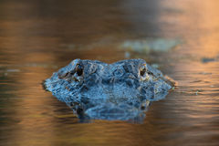 Stor amerikansk alligator i vattnet Fotografering för Bildbyråer