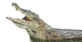 Stor amerikansk krokodil med den öppna munnen Arkivfoton