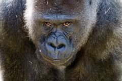 Stor apa som står hans jordning royaltyfria bilder