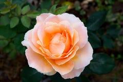 Stor apelsinros i trädgården Royaltyfria Foton