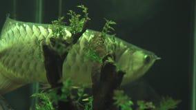Stor aravanafisk som simmar i akvariumvattenslut upp Exotiskt simma för fiskaravana som är undervattens- av det hem- akvariet hål arkivfilmer