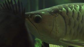 Stor aravanafisk som simmar i akvariumvattenslut upp Exotiskt simma för fiskaravana som är undervattens- av det hem- akvariet hål stock video