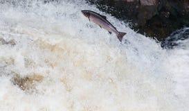 Stor atlantisk lax som hoppar upp vattenfallet på deras vägflyttningsrutt till deras spwning - jordning royaltyfri foto