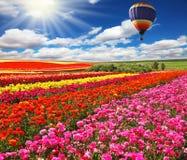 Stor ballong över fält av blomningen royaltyfri fotografi