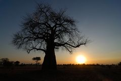 Stor baobabkontur, Tarangire nationalpark, Tanzania royaltyfria foton