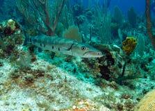 stor barracuda Royaltyfri Fotografi