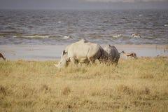 Stor betande noshörning Arkivbild